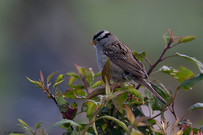 0U2A5301_White crowned Sparrow