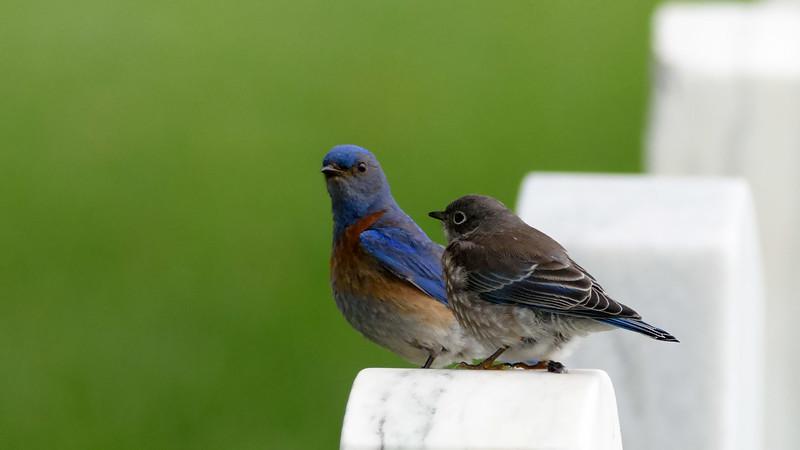 Western Bluebird's