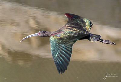 White faced Ibis