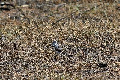 White-fronted Chatq
