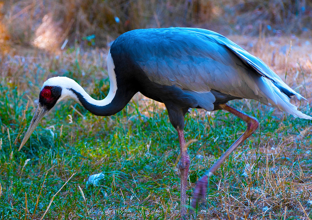 White-Naped Crane<br /> Seattle, Washington