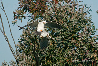 White-tailed Kite, breeding. Mather Park, Sacramento, co, CA 3-28-2009