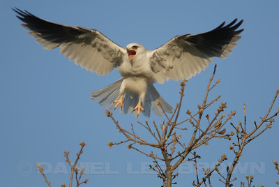 White-tailed Kite, Mather Park, Sacramento, co, CA 3-28-2009.This shot was snapped as a Cooper's Hawk approached the nest area. The Kite didn't approve!