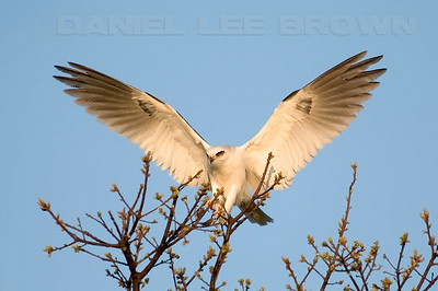 White-tailed Kite, Mather Park, Sacramento, co, CA 3-29-2009