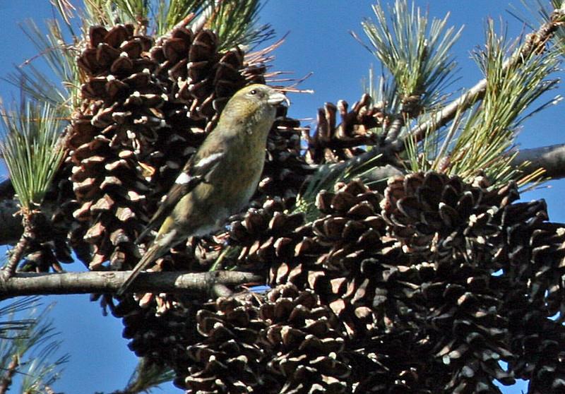 White-winged Crossbill - female in White Pine tree