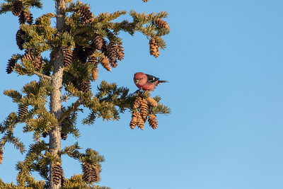 202A1026_NWT_White-winged Crossbills