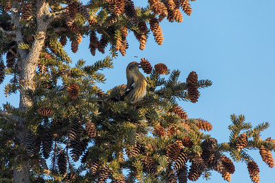 202A1074_NWT Crossbill White-winged