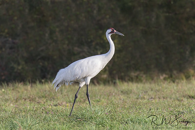 Strutting Adult Whooper