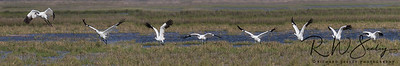 Whooping Crane In a Running Start