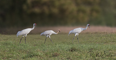 Whooper Family Foraging