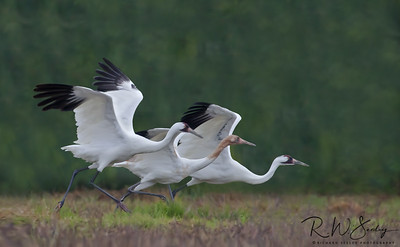 Whooper Family Takeoff