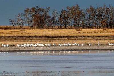 0U2A8945_Whooping Cranes