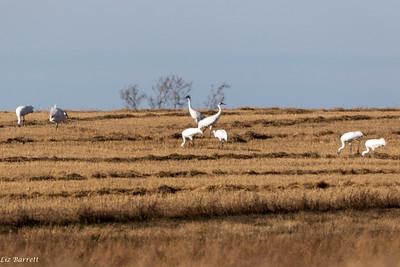0U2A8872_Whooping Cranes