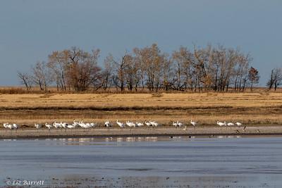 0U2A8947Whooping Cranes