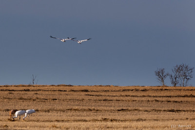 0U2A8909_Whooping Cranes