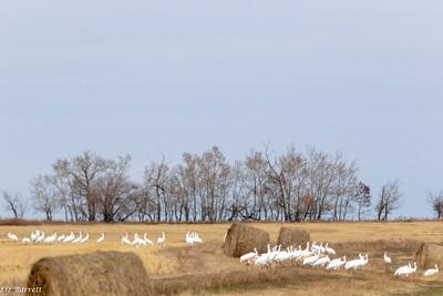0U2A8479_Whopping Cranes