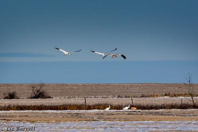 0U2A7484 Whooping Cranes in flight