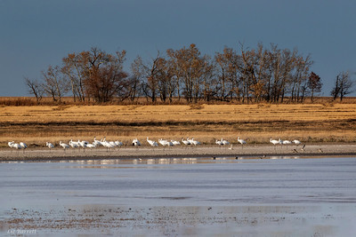 0U2A8947_Whooping Cranes