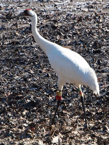 Crane Whooping... #DAR 38-09, Ooltewah, TN 02112011