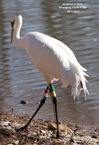 Crane, Whooping... #506, Ooltewah, TN 02112011