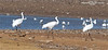 Cranes, Whooping... #s 506,906 & DAR 38-09, Ooltewah, TN, 02102011