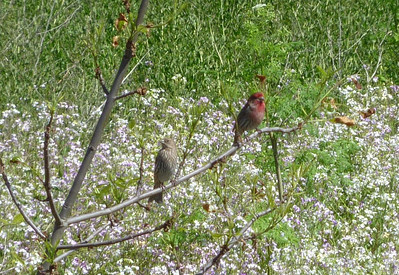 House Finch Pair