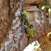 Black-hooded Parakeets exploring a tree trunk