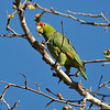 Red-crowned Parrot feasting on leaf buds