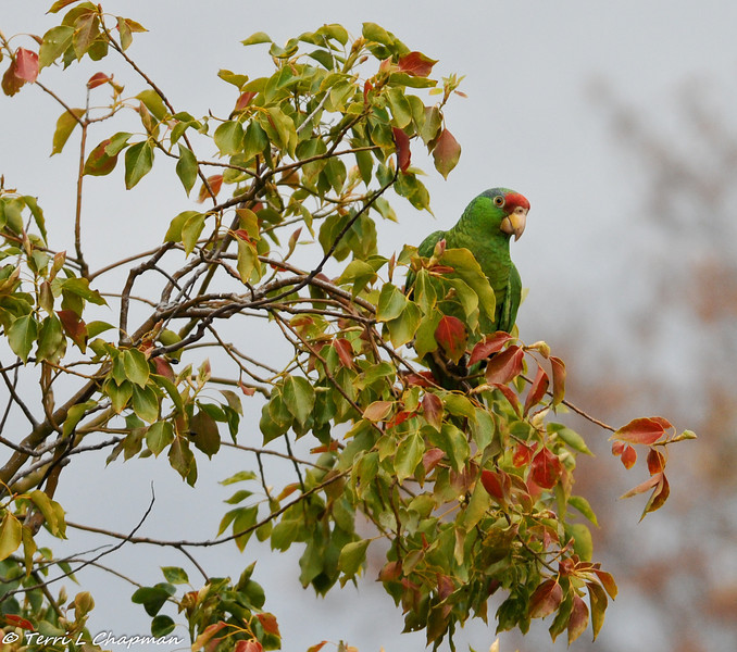 Red-crowned Parrot