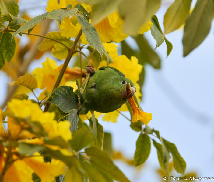 A free flying Yellow-chevroned Parakeet eating the blooms of a Golden Trumpet Tree