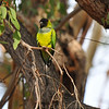 A Black-hooded Parakeet perched in a Eucalyptus tree