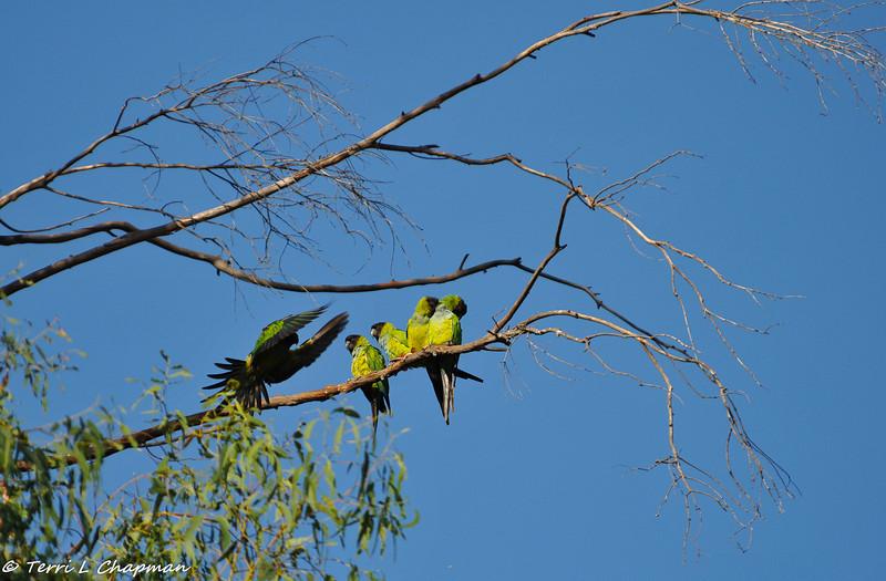 Black-hooded Parakeets in Malibu, California