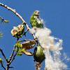 A Yellow-chevroned Parakeet eating the seeds from inside a pod of a Floss Silk Tree