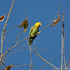 A Yellow-headed Parrot. This is not the best picture, but I have included this bird in my gallery since this is the only Yellow-headed Parrot I have seen so far.