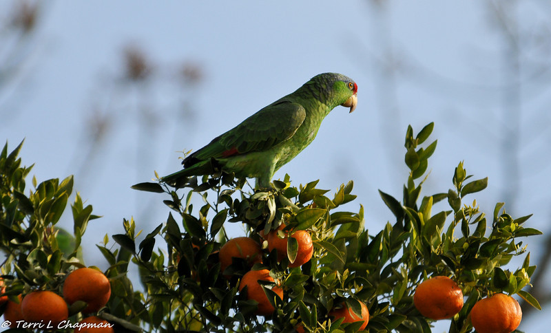 Red-crowned Parrot at the top of my tangerine tree