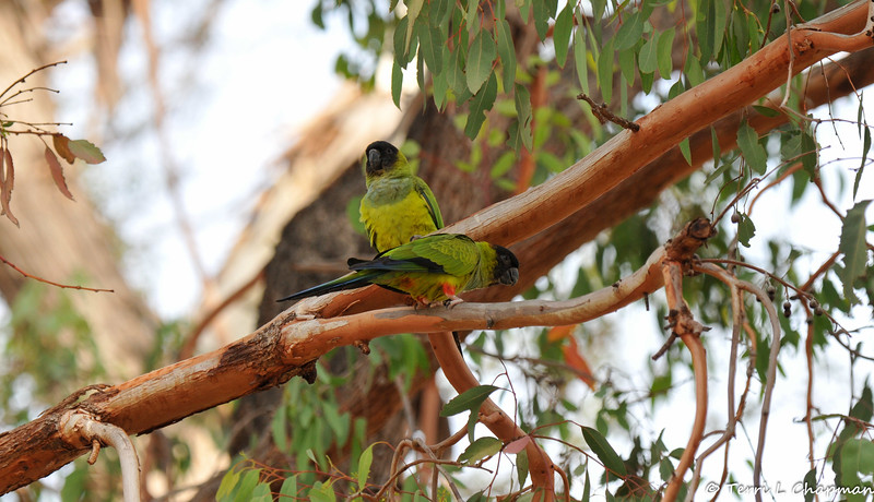 Black-hooded Parakeets perched in a Eucalyptus tree