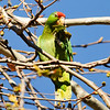 Red-crowned Parrot eating leaves