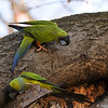 Black-hooded Parakeets exploring a tree trunk
