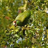 Red-crowned Parrot eating berries of a Camphor tree