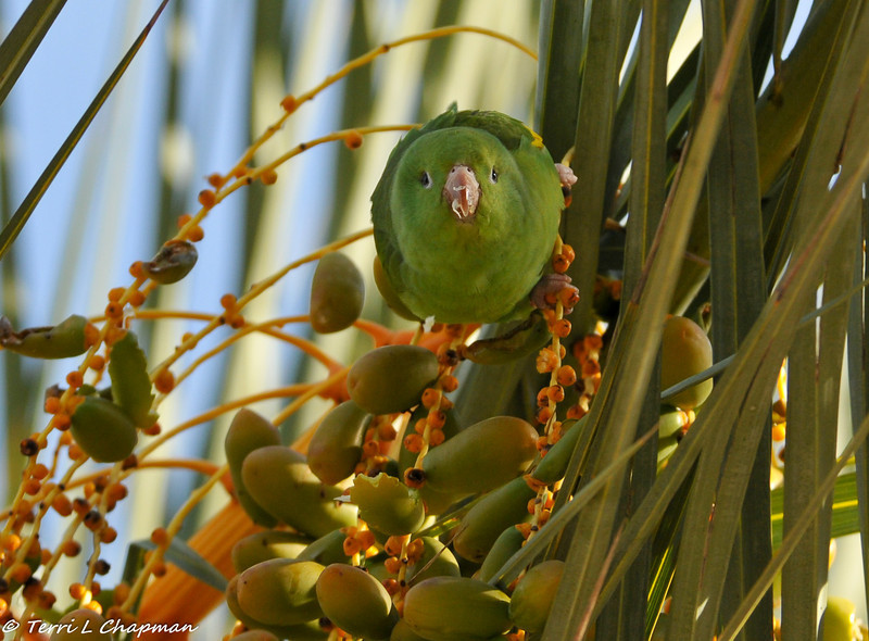 A wild Yellow-chevroned Parakeet eating dates from a palm tree located in front of the Los Angeles Zoo and Botantical Gardens. Although most visitors to the zoo come to see the animals, the zoo features more than 800 different species of plants, which provide food and shelter for many native and migratory birds, and also provides browse for many residents of the zoo.