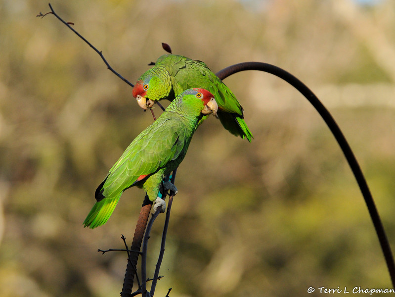Two Red-crowned Parrots perched on a metal rose arbor at Descanso Gardens