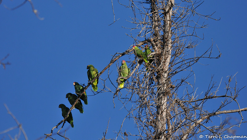 Seven Red-crowned Parrots perched in a dead redwood tree on a cool Autumn morning.