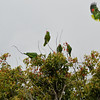 Red-crowned Parrots across the street from my house