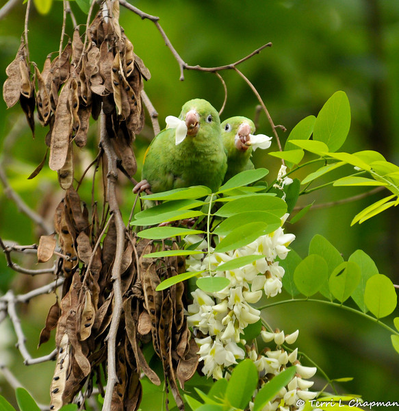 Free flying Yellow-chevroned Parakeets eating the blooms of a Black Locust Tree