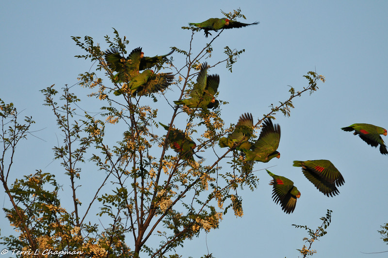 A flock of Red-crowned Parrots flying away