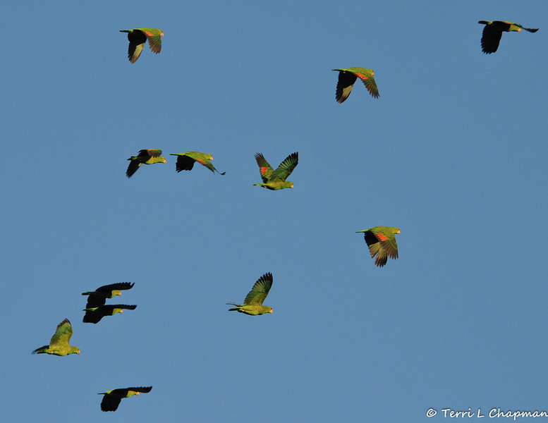 Red-crowned Parrots in flight