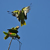 Wild Lilac-crowned Parrot in flight.