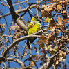 A Black-hooded Parakeet