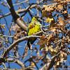 A Black-hooded Parakeet
