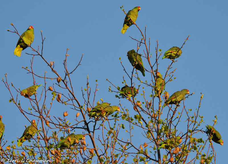 Red-crowned Parrots at sunset